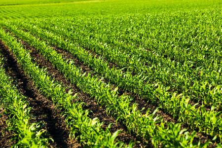 agricultura: un campo agr�cola en la que no hubo brotes j�venes de ma�z Foto de archivo