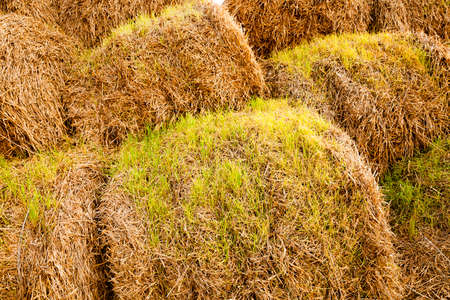 sprouted: wheat sprouts which sprouted on the stacks of straw put after cleaning of a crop