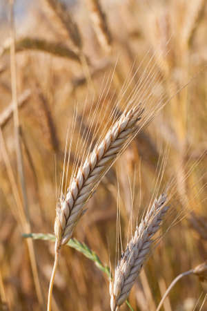 ripened: the ripened ears of cereals photographed by a close up Stock Photo