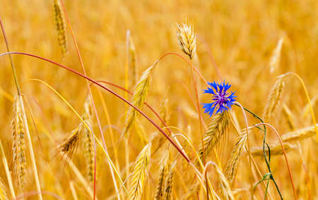 the blue cornflower, growing in a field together with ripened wheat photo