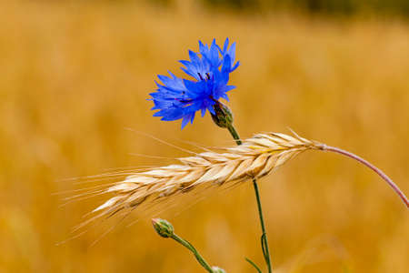 non cultivated land: the blue cornflower, growing in a field together with ripened wheat Stock Photo