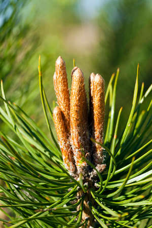 pineal: small brown sprouts of a fir-tree. small sharpness. focus on brown sprouts Stock Photo