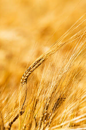 sharpness: the photo a close up of ears of a rye. small depth of sharpness Stock Photo