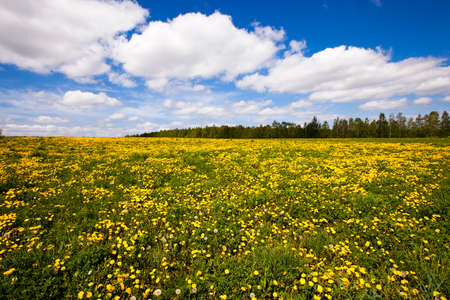 a field on which a large number of dandelions grows. height photo
