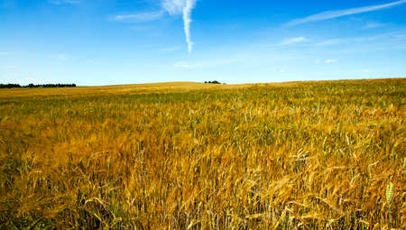 ripened: an agricultural field on which grow up the ripened cereals
