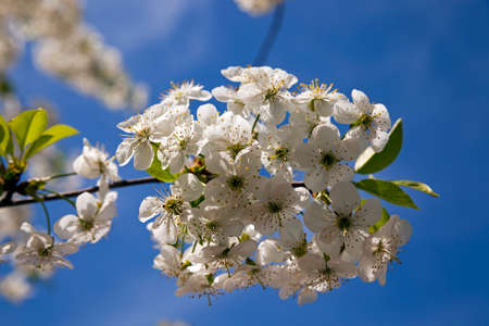 appeared: the white flowers which have appeared on a fruit tree Stock Photo