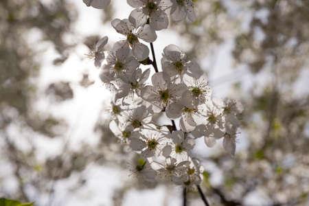 arbre fruitier: les fleurs blanches qui sont apparues sur un arbre fruitier