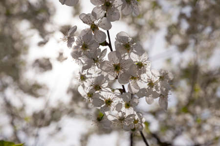 fruit tree: the white flowers which have appeared on a fruit tree Stock Photo