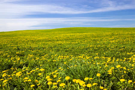 bird web footed: field on which a large number of dandelions grows. spring season Stock Photo
