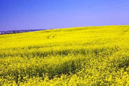 rapaseed: agricultural field on which grow up a colza Stock Photo