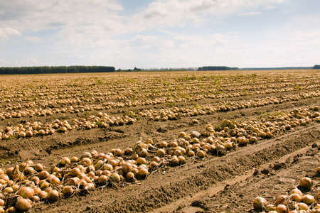 carry out: agricultural field on which carry out cleaning of onions