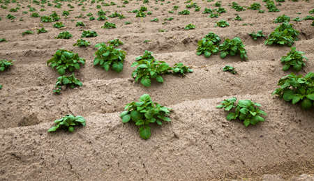 cultivated: agricultural field where potatoes cultivated