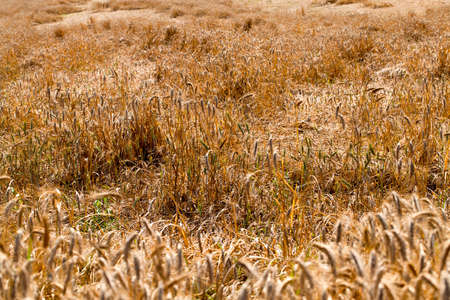 ripened: ripened wheat destroyed by last hurricane. summertime of year