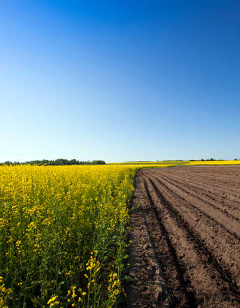 oilseed: agricultural field where grown oilseed rape and potatoes Stock Photo