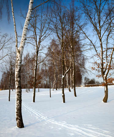 european white birch: the birches growing in park in a winter season