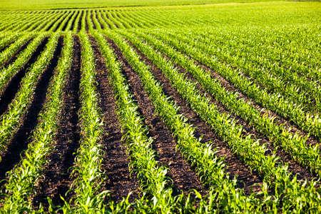 maiz: un campo agr�cola en la que crecen ma�z tierno