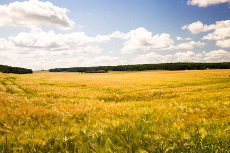 harvest field: field, on which grow grain during harvest company