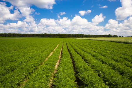 grown: agricultural field where grown carrots Stock Photo