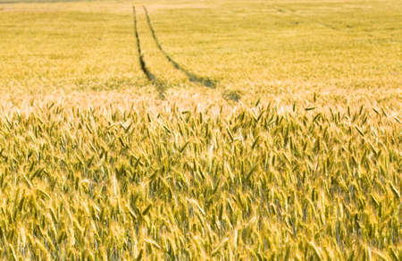 grain field: field, on which grow grain during harvest company