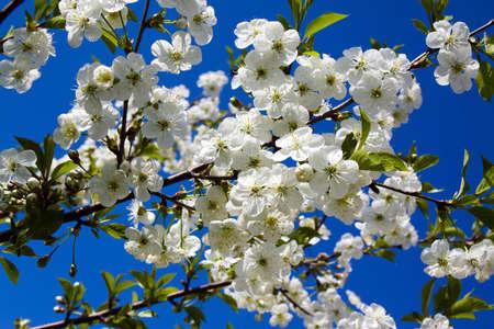 green crab: flowering fruit tree. the spring season Stock Photo