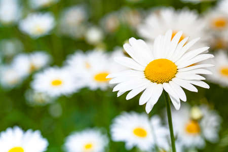 sharpness: the wild white daisies growing in a field. small depth of sharpness