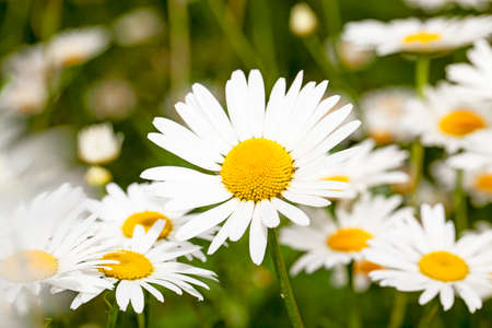 sharpness: white daisies growing in a field. focus on the central plan. small depth of sharpness Stock Photo