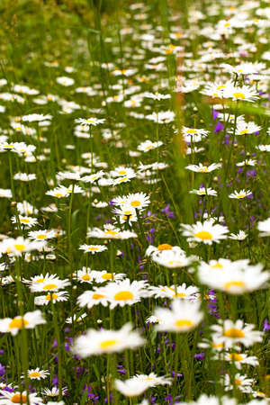 sharpness: the white camomiles growing in a field. small depth of sharpness