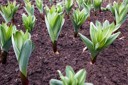 bulb and stem vegetables: plants of the garlic planted for receiving seeds growing in a field