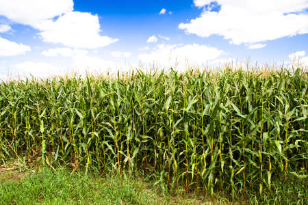 they: agricultural field where they grow corn