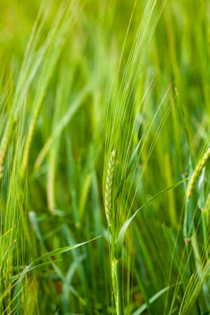 sharpness: the unripe green oats growing in an agricultural field. small depth of sharpness