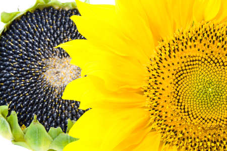 mature: mature flower sunflower, photographed in close-up Stock Photo