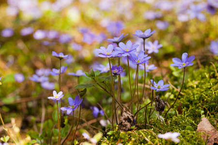 glades: violet flowers the glades growing in the territory of the wood