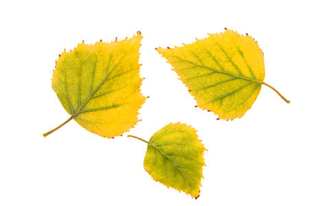 chokeberry: yellow sheets of birch, isolated on white background