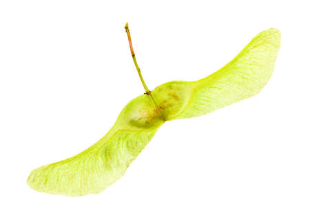 aceraceae: isolated on a white background Maple seed