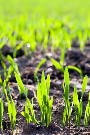最近緑の小麦のもやしのランク。シャープネスの奥行き 写真素材