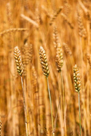 field, on which grow grain during harvest company