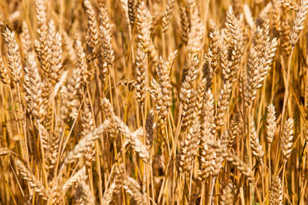 which: field, on which grow grain during harvest company