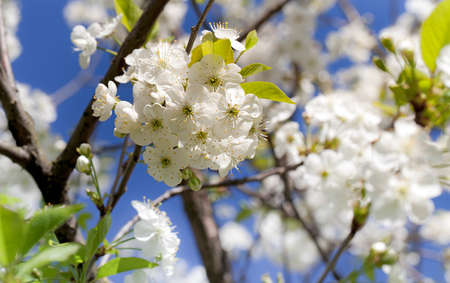 sharpness: blossoming cherry in a spring season. small depth of sharpness Stock Photo