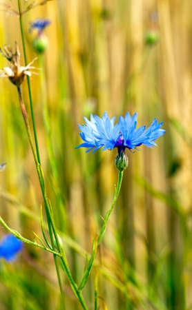 bluet: blue cornflowers growing in a field. small depth of sharpness