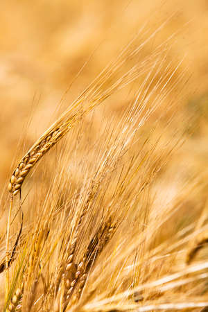 sharpness: mature wheat - some ears wheat photographed by a close up. small depth of sharpness