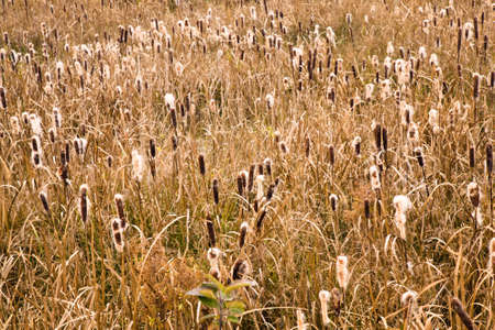yellowing: yellowing reeds in the autumn of the year Stock Photo