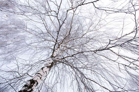 clear day in winter time: the tops of trees covered with hoarfrost (birch). winter season Stock Photo