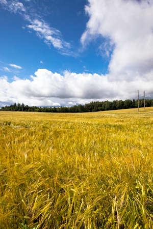 labranza: campo, en el que crece el grano durante la cosecha de la empresa