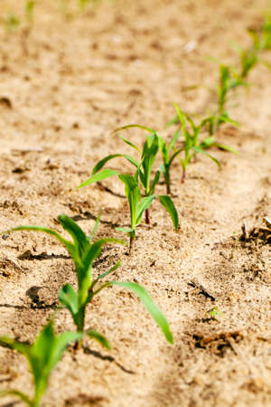recently: recently appeared sprouts of corn. agriculture, small depth of sharpness