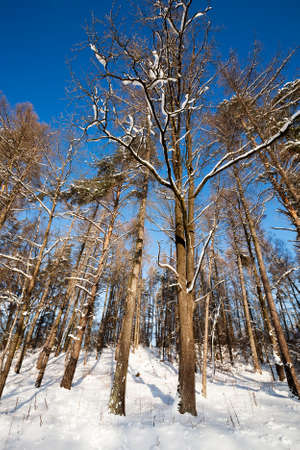 clear day in winter time: trees covered with snow in a winter season. Stock Photo