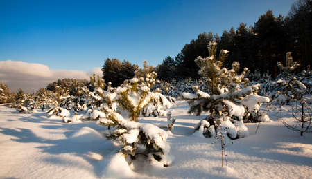 recently: recently planted small trees of pines and fir-trees, in a winter season