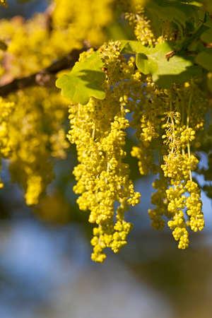 ablooming: un fiore di quercia in una stagione primaverile. piccola profondit� di nitidezza