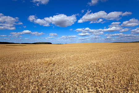 ripened: agricultural field where grows the ripened wheat