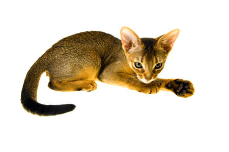 abyssinian cat: Abyssinian cat photographed in close-up