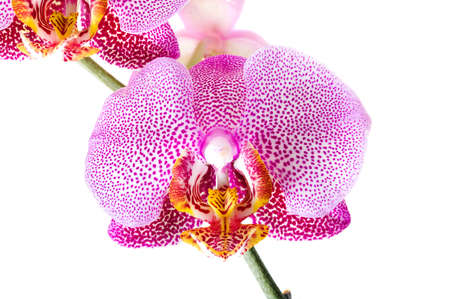 red orchid: photographed close-up flower red Orchid Stock Photo